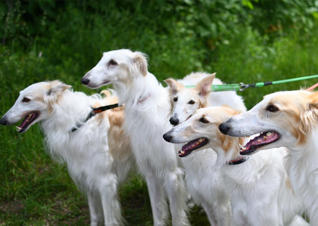 ボルゾイ多頭飼育〝解散〟の悲劇