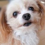 【ノーリード・脱走】に細心の注意を。犬に襲われて亡くなったチワプーの飼い主が語る「すべての飼い主へ、責任を持って」